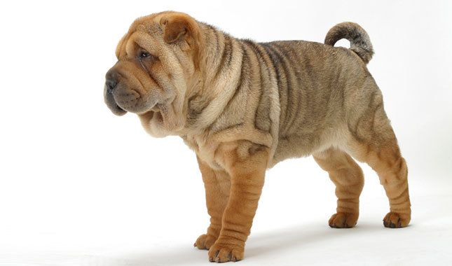 Chinese Shar-Pei Dog Breed Information