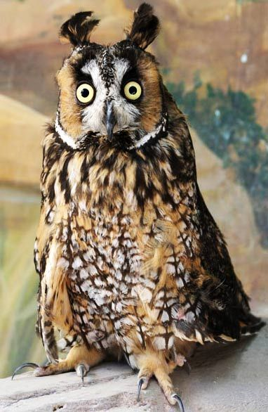 Long-Eared Owl - Asio otus - Camouflaged, Nocturnal, Forest Bird