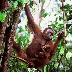 Orangutan  © WWF