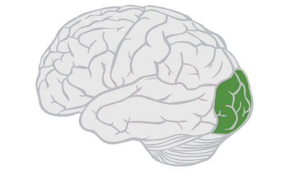 Occipital Lobe | SpinalCord.com