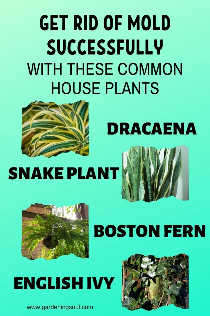 Get Rid Of Mold Successfully With These Common House Plants Common House Plants Get Rid Of Mold Plants