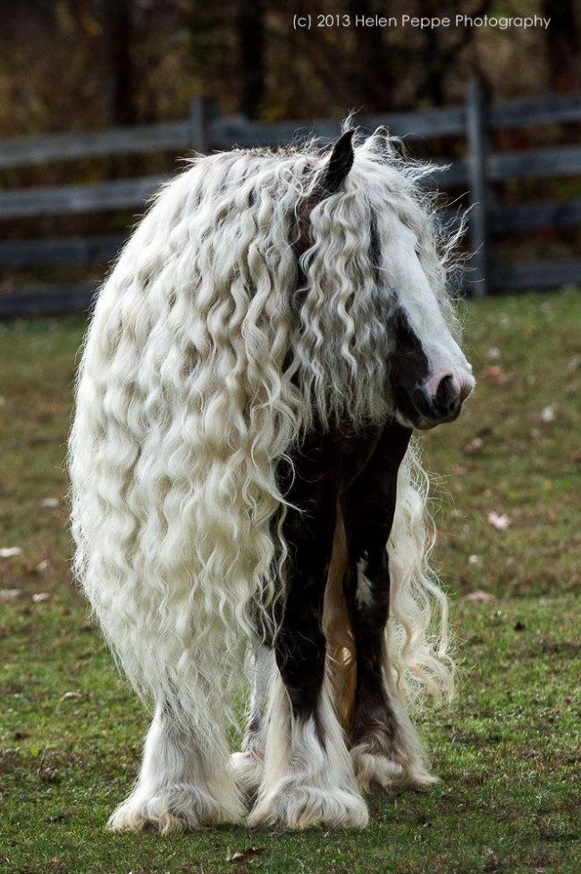 The Gypsy Horse (USA, UK, AU), also known as the Gypsy Cob (UK, NZ), Coloured Cob (UK, Ireland, parts of Continental Europe), Gypsy Vanner (US, CAN), Irish Cob, and Tinker Horse (parts of Continental Europe)