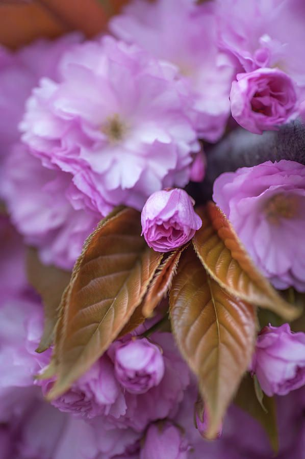Sweet Fragrance Of Spring. Spring Pastels Photograph by Jenny Rainbow