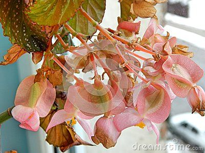 Beautiful Angel Wing Begonia flower close-up, photographed indoors at winter time. This plant provides large clusters of flowers all year with good lighting.