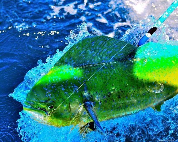 32 best mahi mahi dorado dolphin images on pinterest for Dolphin fishing florida