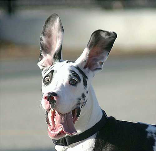 Funny Dogs Great Dane_4