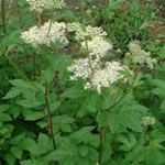 The meadowsweet is effective in treating diseases such as rheumatoid arthritis, intestinal disorders, fluid retention, flu, fever, sore throat, urinary diseases, arthritis, osteoarthritis, edema, cellulite, skin conditions, improves blood flow, drop kidney stones, oliguria, low uric acid. Helps prevent thromboembolism, improvement of depression and anxiety states, as well as eliminate toxins.