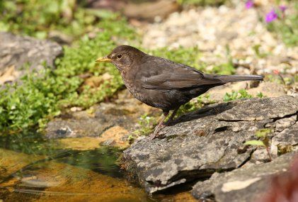 Blackbird. ...female