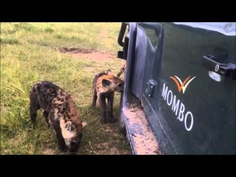 F1 pit crew? Mombo hyaena cubs chewing tyres video - YouTube