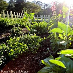 chicken herb and edible flower garden video tour