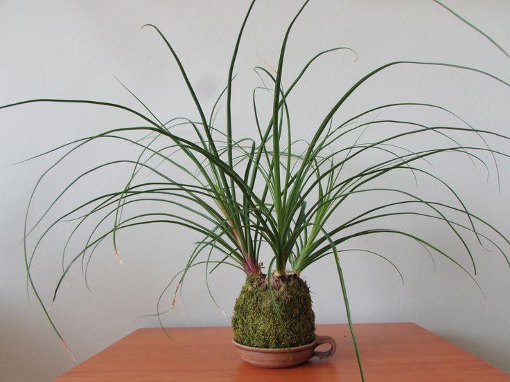Kokedama+Nolina+kokedama+pochází+jako+bonsaje+z+Japonska,+znamená+to+v+překladu+mechová+koule.+Jde+o+speciální+pěstování+pokojových+květin.+Podrobné+informace+o+kokedamě+najdete+v+mém+profilu.+Na+přání+mohu+vyrobit+jakoukoliv+kokedamu+s+vaší+oblíbenou+květinou+v+kokedamě+jsou+3+rostlinky,+s+možností+závěsu,+vel.+balu+cca+9-10+cm+cena+je+bez+misky+fotografie+jsou+...