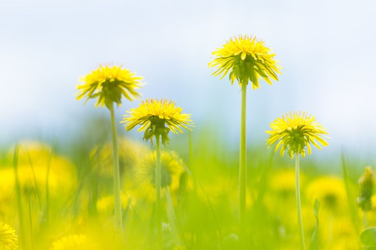 It's time to rethink our relationship with the lowly dandelion.  A nutritional superfood, with superior detoxification and cleansing properties