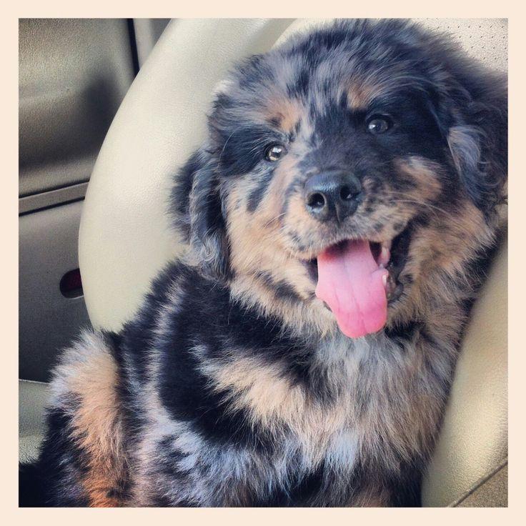 Australian Shepherd, Rottweiler & Irish Setter mix Puppy For Sale In Ireland