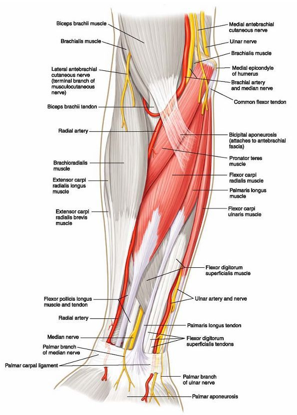 50 best FOREARM ANATOMY images on Pinterest | Forearm anatomy ...