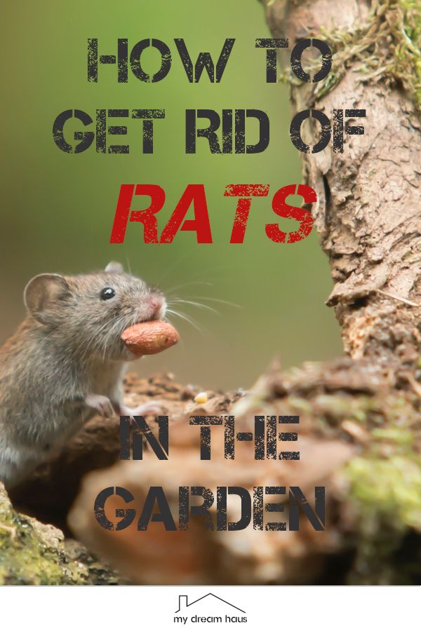 How To Get Rid of Rats in the Garden in 2020 | Getting rid ...