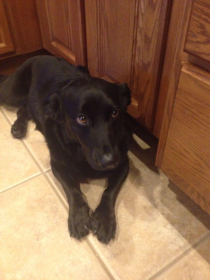 Worlds best dog: corgi lab mix.