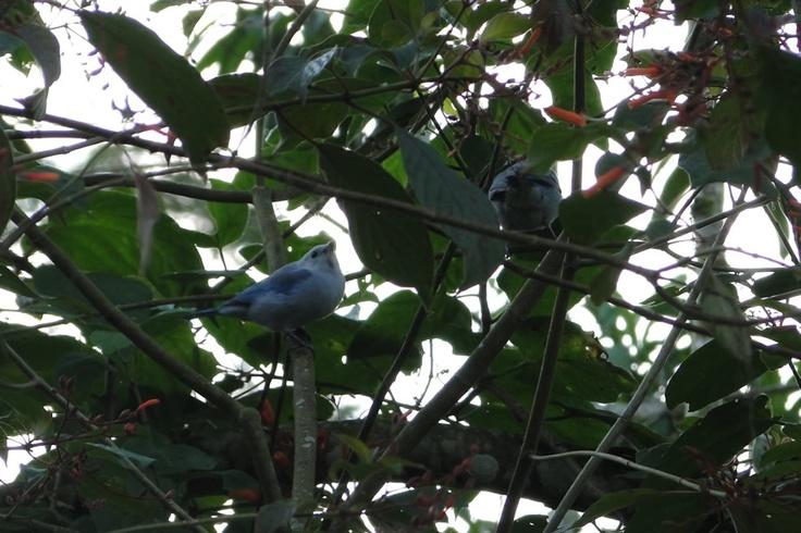Azulejo Común posando sobre las ramas de un árbol en El Portal, Paraíso Natural.