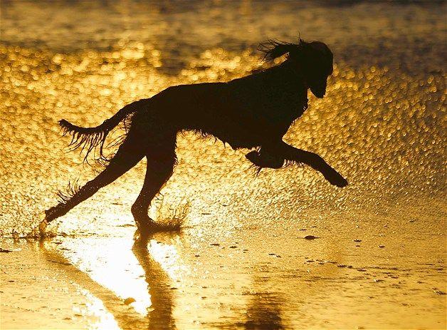 Een hond rent over het strand tijdens zonsondergang in Leucadia, Californië.
