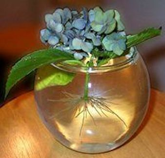 How to propagate hydrangeas by just putting a cutting into water