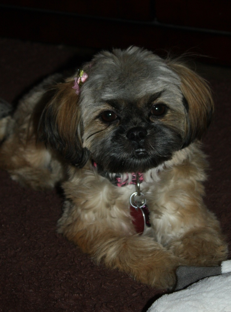 teddy haircut for shih tzu 25 best ideas about teddy names on 4468