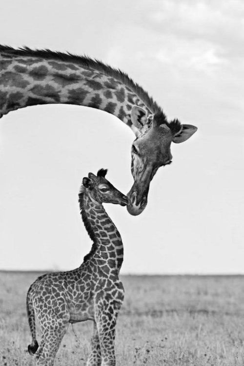 Giraffe's First Kiss - This baby giraffe is only minutes old, with