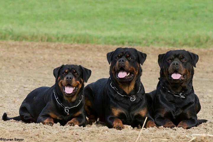 Foto di gruppo per tre massici #Rottweiler #cani