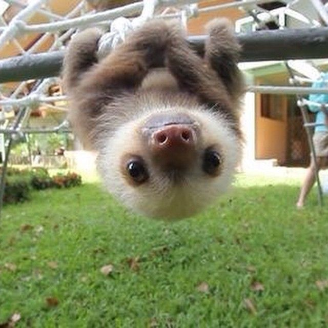 17 Best images about Sloths on Pinterest | Sloth tattoo ...