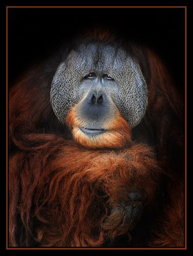 Orangutan King Sumatran King | Orangu...