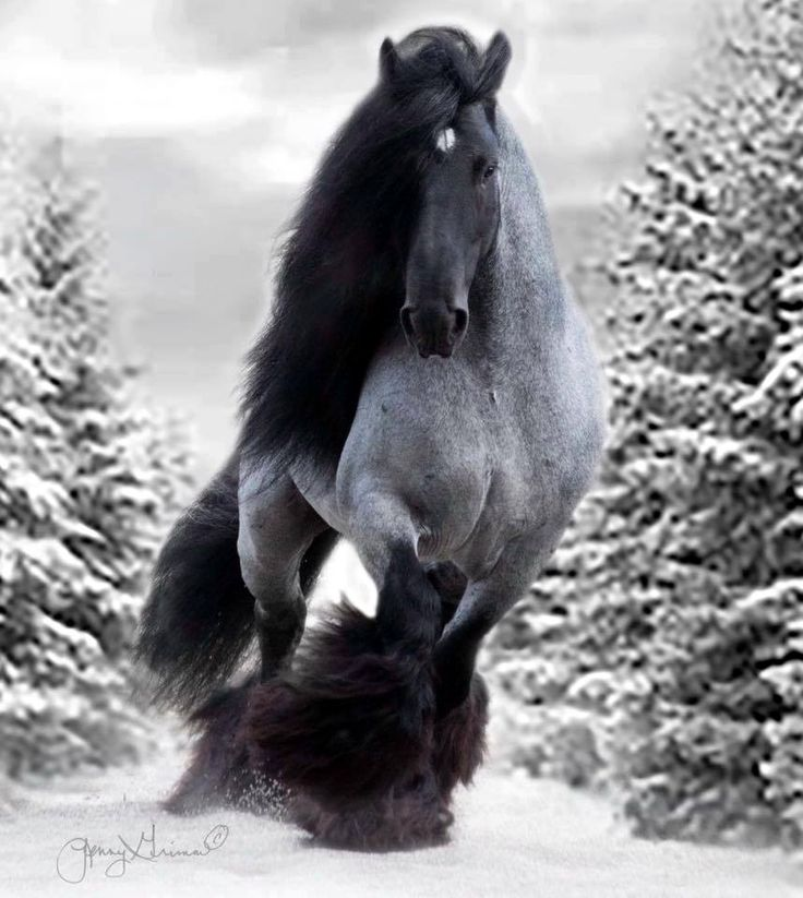 Blue Roan Draft Horse running in the snow.