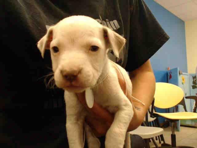 Labrador Retriever Dog For Adoption In Houston Tx Adn 810589 On Puppyfinder Com Gender Male Age Baby Labrador Retriever Labrador Retriever Dog Retriever Dog
