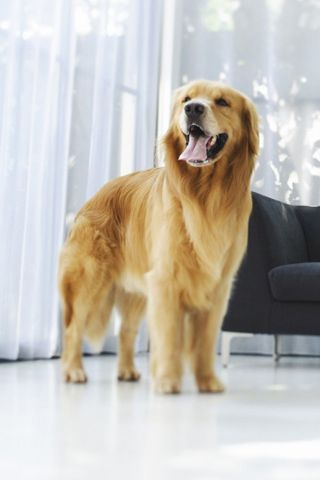 Golden Retriever Android Wallpaper Pets Dogs Animals Puppies