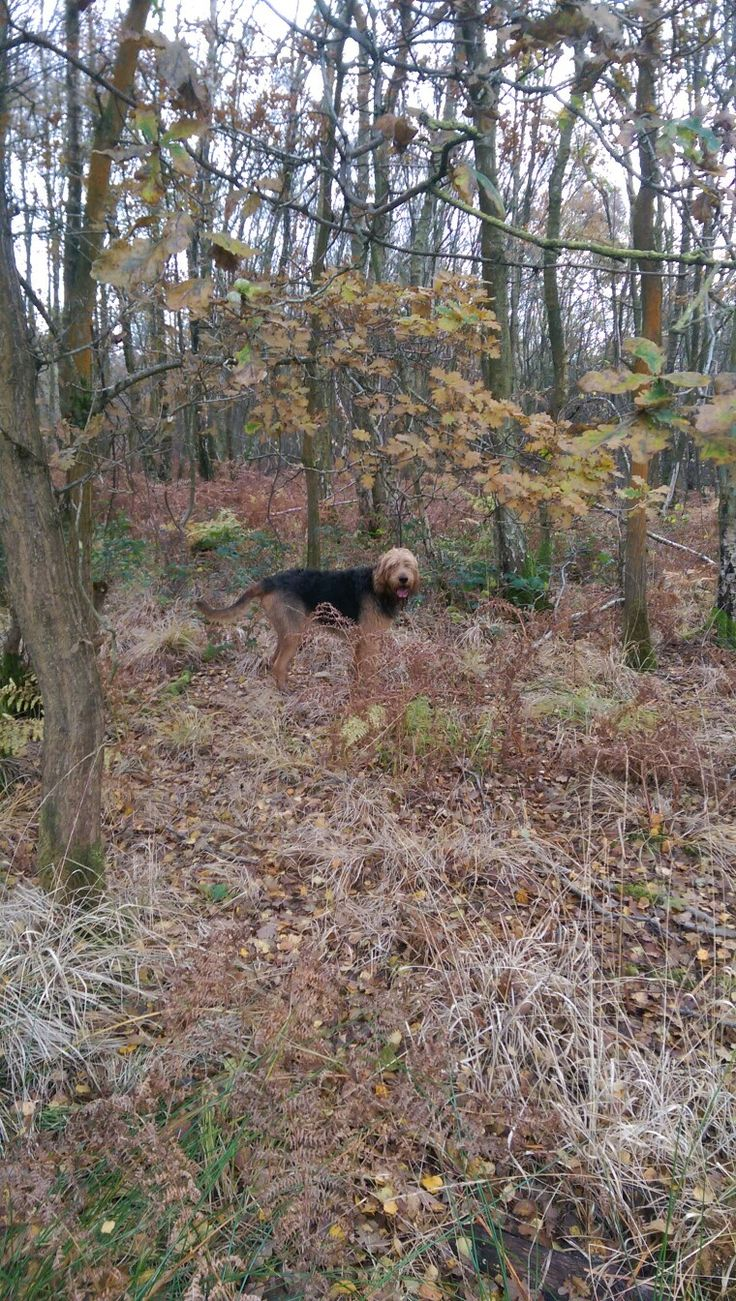 Olly the otterhound