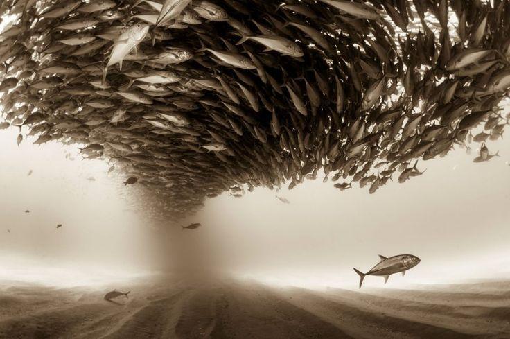 Ein Schwarm Stachelmakrelen im geschützten Seegebiet Cabo Pulmo in Mexiko.   ...