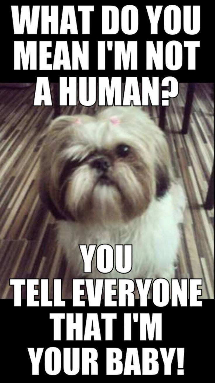 Dog Quote Cute Dogs Funny Animals Shih Tzu Puppy