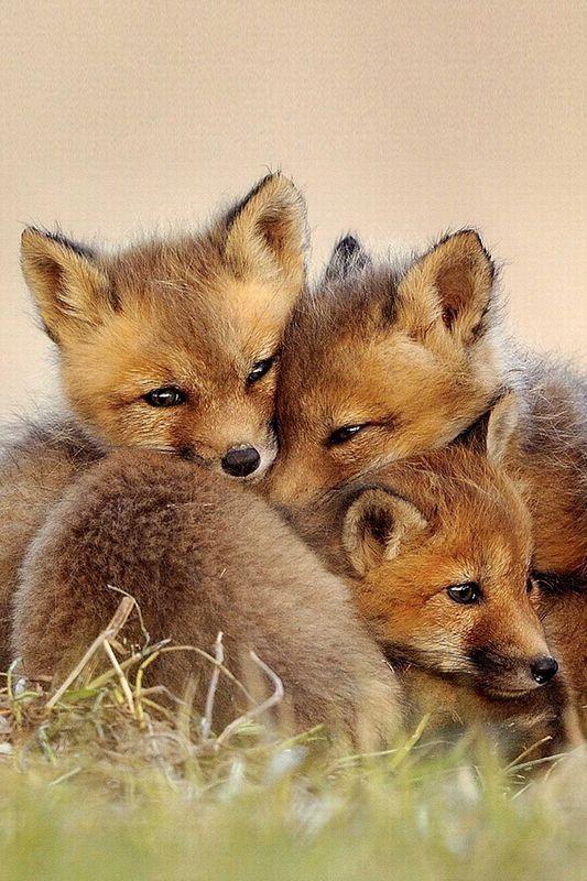 Fox cuddles.