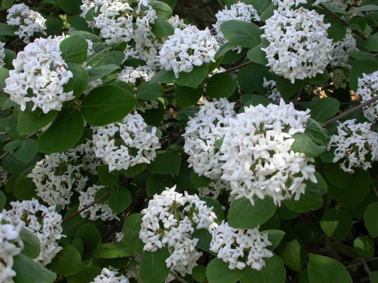 Viburnum carlesii  (Korean Spice Viburnum) One of the best smelling blossoms of the spring!