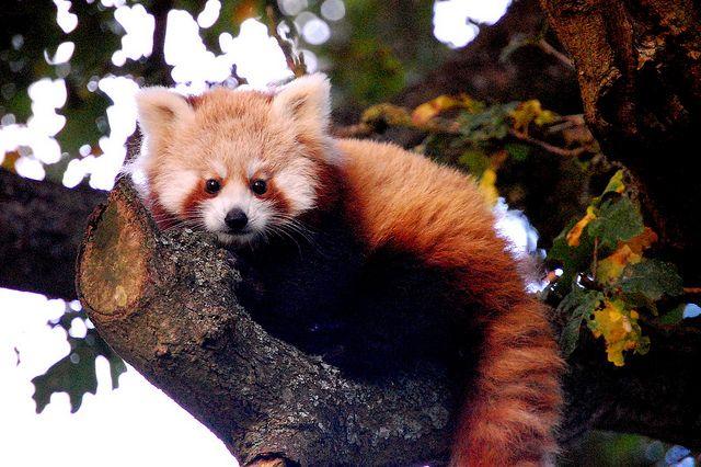 Red Panda: Pandas Baby,  Red Pandas,  Ailurus Fulgen, Whipsnad Zoos,  Bears Cat,  Cat Bears, Baby Photos, Les Pandas, Lesser Pandas