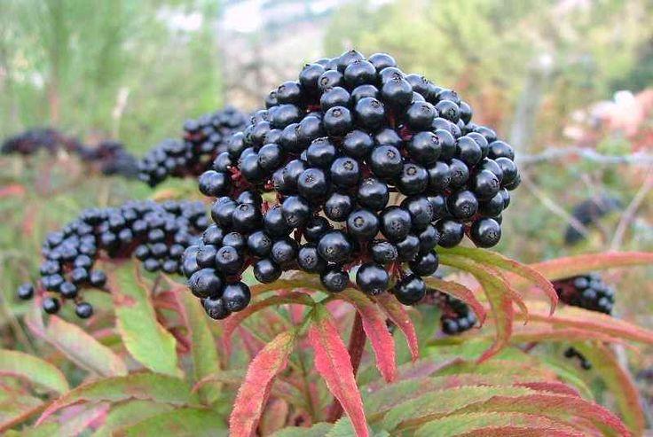 Sambucus ebulus frutos