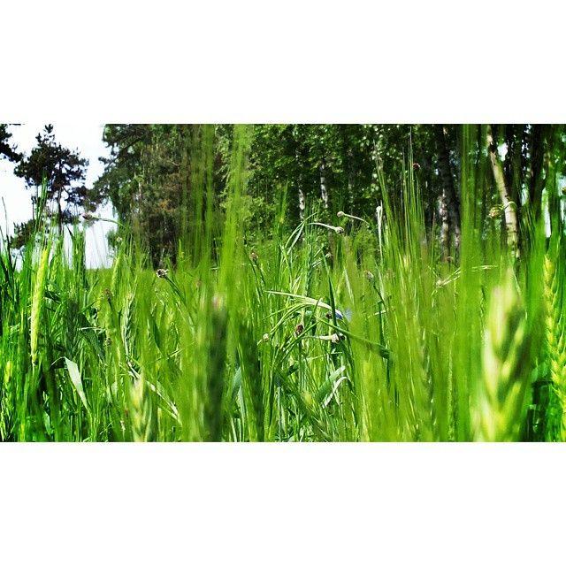 #nature #naturelovers #green #zboże #landscape #forest #photoshoot #instanature #instaphoto #trip#fun#sunny#day#lubiepolske