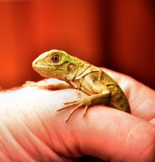 Alimentación para iguanas bebé - Todo lo que debes saber  #ExpertoAnimal #MundoAnimal #ReinoAnimal #Animales #Naturaleza #AnimalesBebés #Crias #Iguana #Reptiles #AnimalBabies