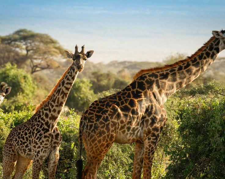 Safari & strand Kenia  Ontdek de adembenemende natuur van Kenia incl. 10 nachten in hotels en lodges met zwembad vele maaltijden 5 safari's en retourvlucht!  EUR 1949.00  Meer informatie  #vakantie http://vakantienaar.eu - http://facebook.com/vakantienaar.eu - https://start.me/p/VRobeo/vakantie-pagina