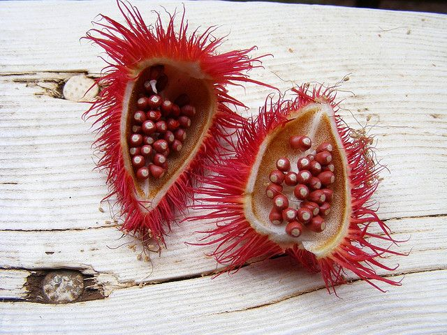 Annatto seed pods   paper engine @ flickr #Achiote