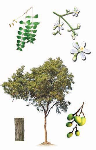 how to grow neem tree from branch