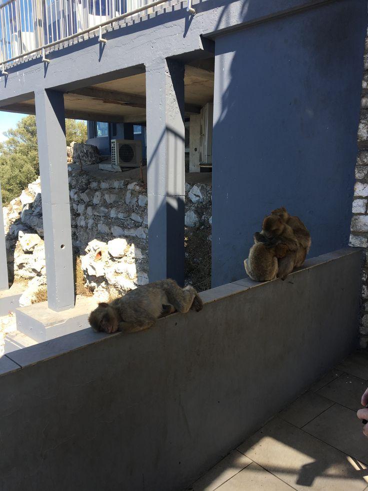 Gibraltar monkeys