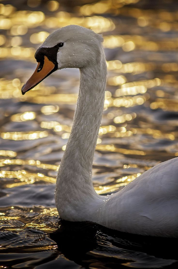 gyclli:  Mute Swan watching the sun go down   MuteSwan *** By Nigel Wooding