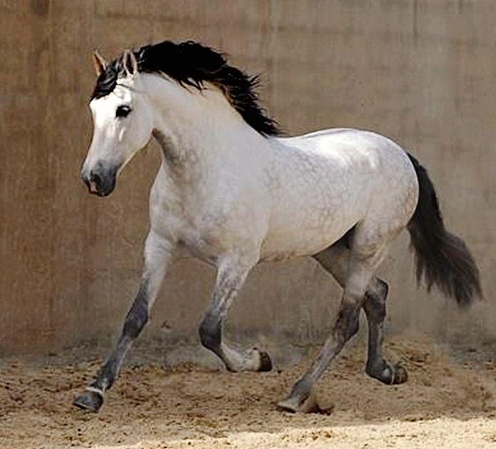Pura Raza Española stallion, Marmito. photo: Wojtek Kwiatkowski. Beautiful Horse