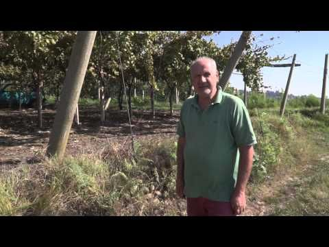 ▶ Vendemmia in Canavese - YouTube