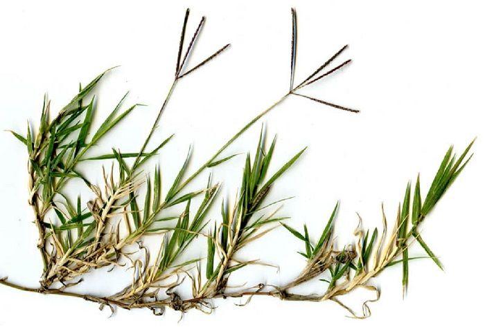 Αγριάδα Cynodon dactylon Pers - Ένα θεραπευτικό ζιζάνιο για λοιμώξεις του ουροποιητικού και άλλων προβλημάτων όπως πέτρες νεφρών ή χολής, κυστίτιδα αρθριτικ