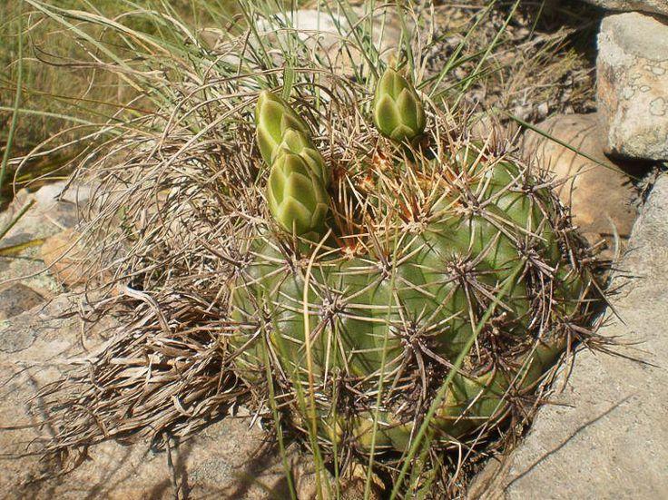 schatzlianum ( reductum ssp leeanum)