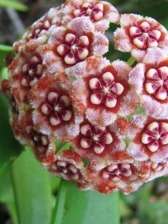 Hoya (wax flower)